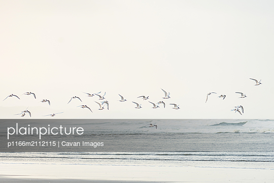 Flock of sea birds flying at coastline on a beach in New Zealand - p1166m2112115 by Cavan Images