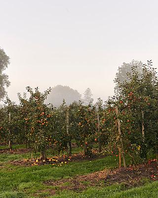 Apfelplantage - p1124m1069642 von Willing-Holtz