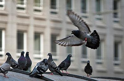 Tauben in der Stadt - p229m919622 von Martin Langer
