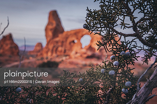 Blueberries and turret arch in the morning at Arches National park - p1166m2200315 by Cavan Images