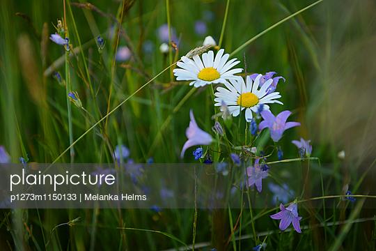 Margerite - p1273m1150133 von melanka