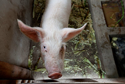 Pig - p1204m1020240 by Michael Rathmayr