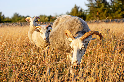 Sheep on meadow - p312m1084265f by Michael Jonsson