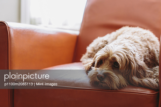 A cockapoo mixed breed dog, a cocker spaniel poodle cross, a family pet with brown curly coat lying on a brown leather chair. - p1100m2085113 by Mint Images
