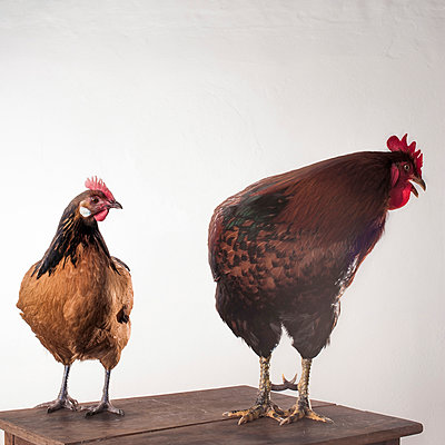 Hen and cock - p1186m1020568 by Christine Henke