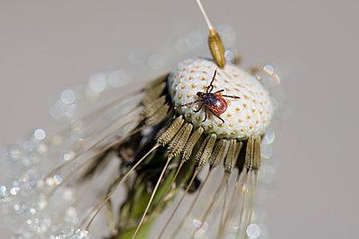 Tick on dandelion head - p300m2121719 by Mark Johnson
