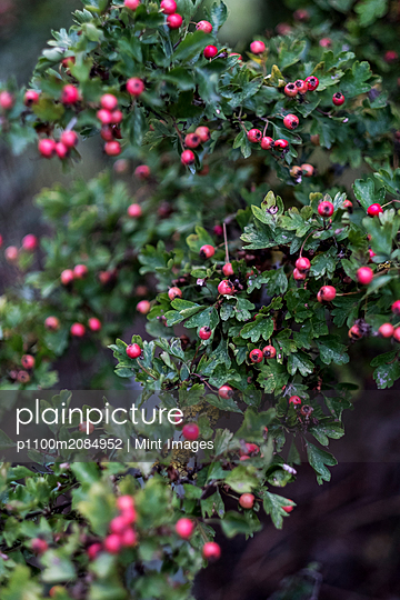 Close up of branch with green leaves and red berries. - p1100m2084952 by Mint Images