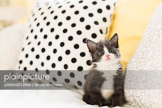 Starring kitten at home - p300m2012894 von Nicole Matthews