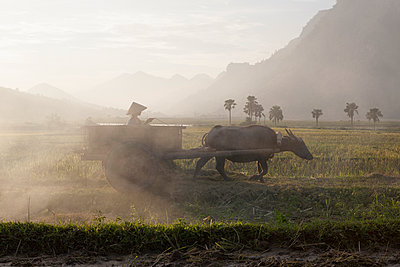 A girl rides her empty Water buffalo cart back to the field to gather more harvested rice. Yen Bai province, Vietnam, Southeast Asia - p934m893194 by Matthew Dakin