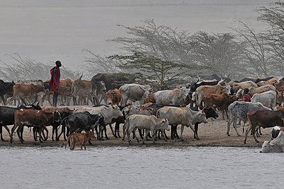 Masai mit Viehherde - p9791690 von Schickhofer