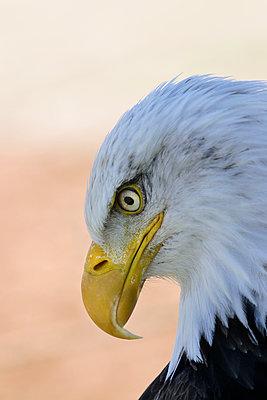 Close-up of bald eagle - p836m1462435 by Benjamin Rondel