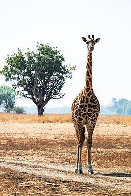 Giraffe im Südluangwa-Nationalpark - p842m1538232 von Renée Del Missier