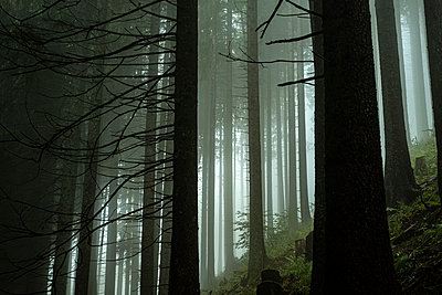 Coniferous forest in the fog - p280m2172306 by victor s. brigola