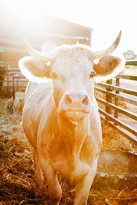 Front view of cow - p1008m1169082 by Valerie Schmidt