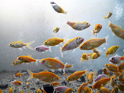 Fish swimming in fresh water aquarium - p300m1029149f by Pascal Miller