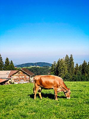 Grasende Kuh auf einer Alm in den Alpen - p382m2263623 von Anna Matzen