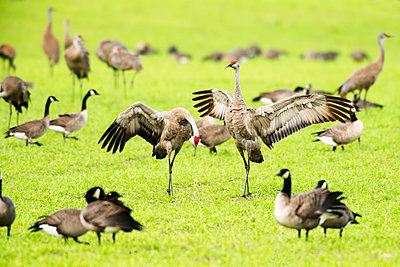 Sandhill Cranes (Grus canadensis) displaying and dancing while surrounded by other cranes and Canada Geese at Creamer's Field Migratory Waterfowl Refuge; Fairbanks, Alaska, United States of America - p442m1442371 by Kenneth Whitten