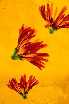 Knallige Blüten - p450m1030709 von Hanka Steidle