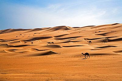 Oman, Wahiba Sands. Camels belonging to Bedouins cross sand dunes in Wahiba Sands. - p652m1058705 by Nigel Pavitt