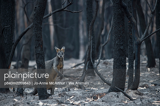 Swamp wallaby (Wallabia bicolor) in a burnt forest in Mallacoota forages for fungi growing from the forest floor. Australia, January 2020 - p840m2269843 by Jo-Anne McArthur / We Animals