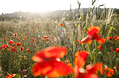 Field with luminous poppies - p533m2015611 by Böhm Monika