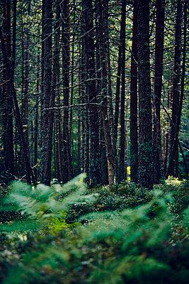 Wald Tanne Farn - p1312m1137682 von Axel Killian