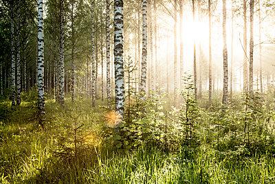 Birkenwald - p362m1541450 von André Wagner