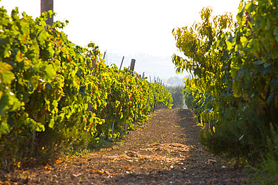 Vineyard - p6691440 by David Harrigan