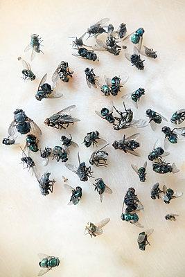 Haufen toter Stubenfliegen - p739m1177005 von Baertels