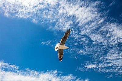Möwe in der Luft - p1082m2071339 von Daniel Allan
