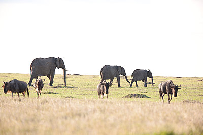 African elephants with Gnu - p533m1425569 by Böhm Monika