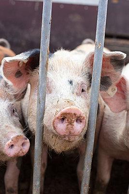 Schweine hinter Gittern - p8280031 von souslesarbres