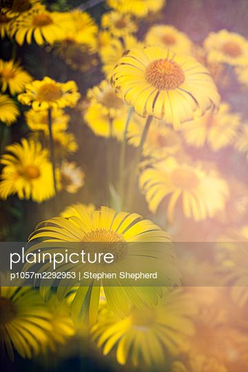Gelbe Blumen - p1057m2292953 von Stephen Shepherd