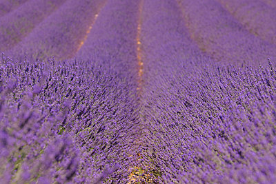 View of lavender field - p30020344f by Martin Rügner