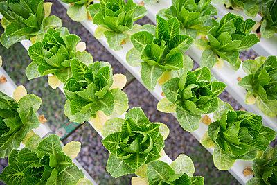 Vegetables growing in greenhouse - p300m2084099 von zerocreatives