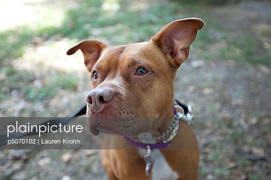 American Pitbull Terrier - p5070102 von Lauren Krohn