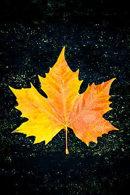 A large yellow autumn leaf on a dark background - p1302m2182333 by Richard Nixon