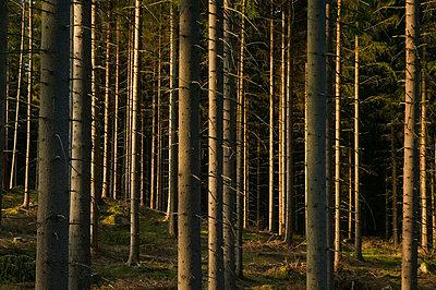 Spruceforest Sweden - p5750170f by Sven Halling