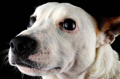 Portrait of Jack Russel Terrier in front of black background - p300m930027f by Mark Johnson
