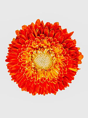 Gerbera flower - p401m2264016 by Frank Baquet