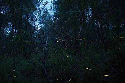 Fireflies in Santa Clara, Nanacamilpa, Tlaxcala, Mexico - p343m1520779 by Marcos Ferro