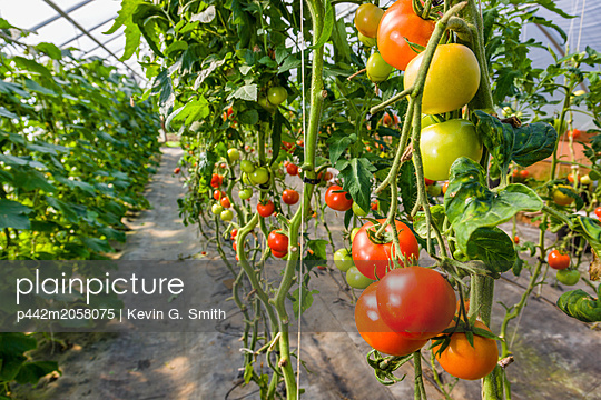 Detail of tomato plants hanging in a hoop greenhouse; Palmer, Alaska, United States of America - p442m2058075 by Kevin G. Smith