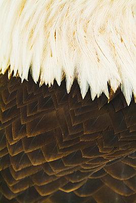 A Close-Up Shot Of The Back Of A Live Bald Eagle; Homer Alaska United States Of America - p442m748590f by Brian Guzzetti