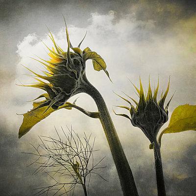 Sonnenblumen - p1633m2289762 von Bernd Webler