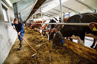 Farmer sweeping hay for cows in barn - p352m2119808 by Lena Katarina Johansson