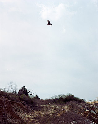 Buzzard in flight - p436m1445462 by R. Petersen