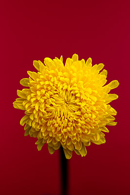 yellow spider mum chrysanthemum flower against red background - p919m2204190 by Beowulf Sheehan