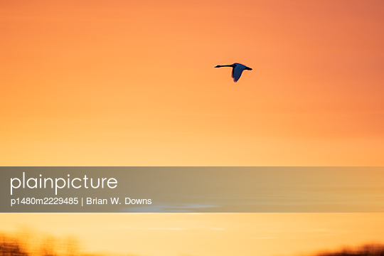 Tundra Swan in front of Colorful sky - p1480m2229485 by Brian W. Downs