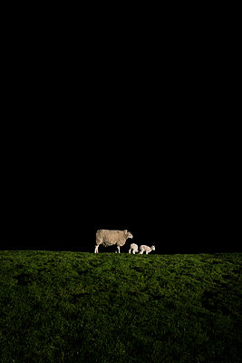 Sheep and lambs in the dark - p1132m2126169 by Mischa Keijser