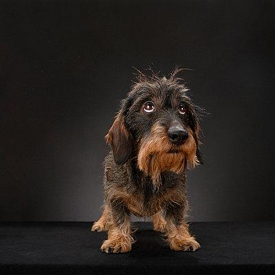 Hundeportrait - p4030162 von Helge Sauber